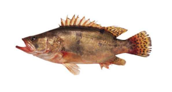 鯇魚 烏頭 金山�o 加州鱸 鯪魚 鳴 謝 : 漁 農 自 然 護 理... 電波魚類圖鑑