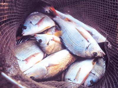 黄脚立鱼图片_煎封立鱼