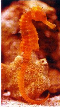 海馬十分忠情於活的豐年蝦