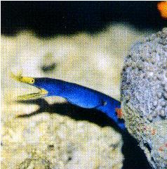 五彩鰻是不折不扣的略食性魚類